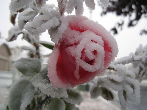 Images page 8 - Rose in snow wallpaper ...